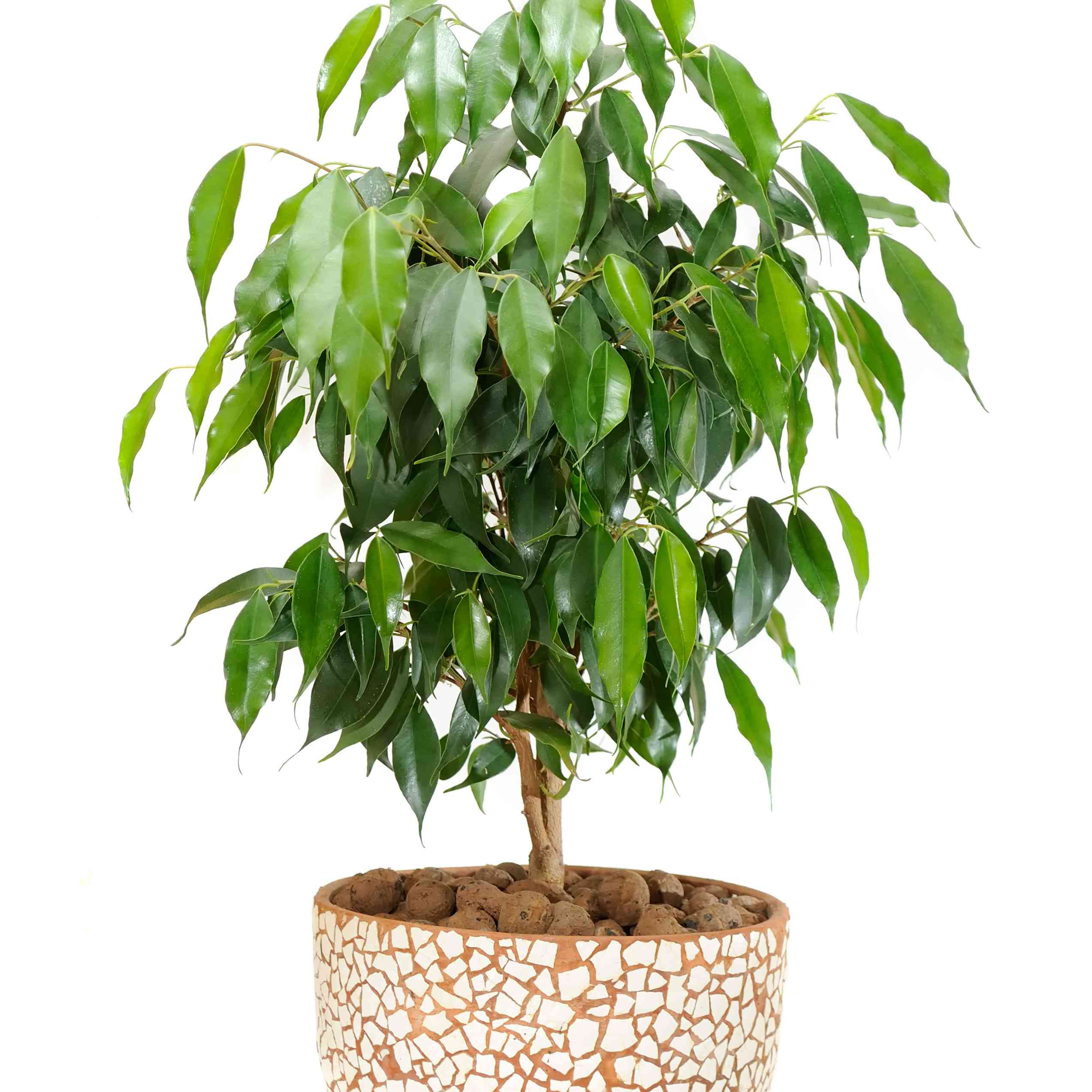 Weeping fig in a pot