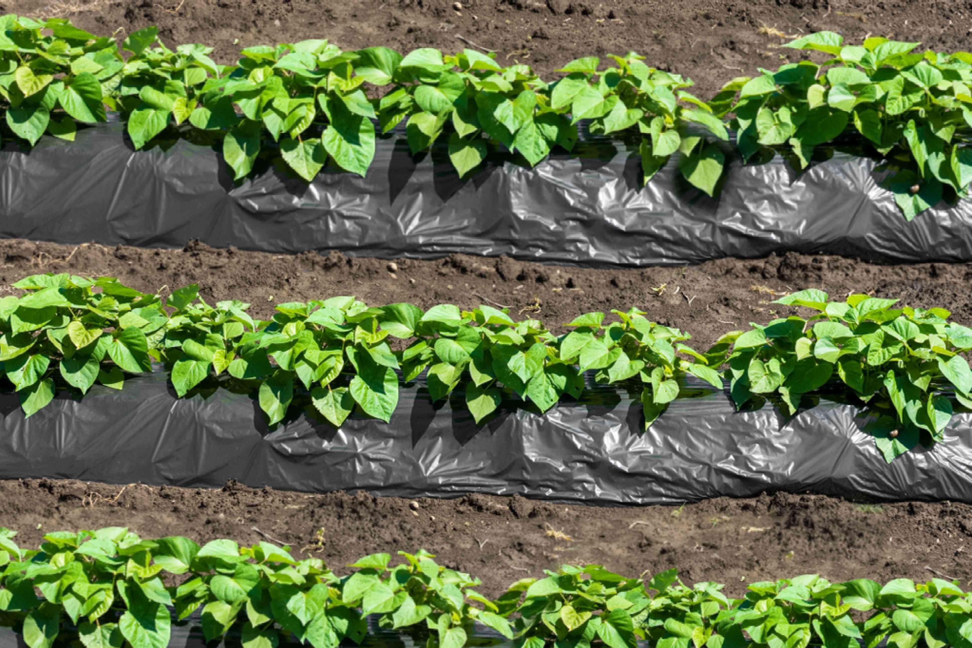 three rows of sweet potato slips being grown in garden with black tarp covering