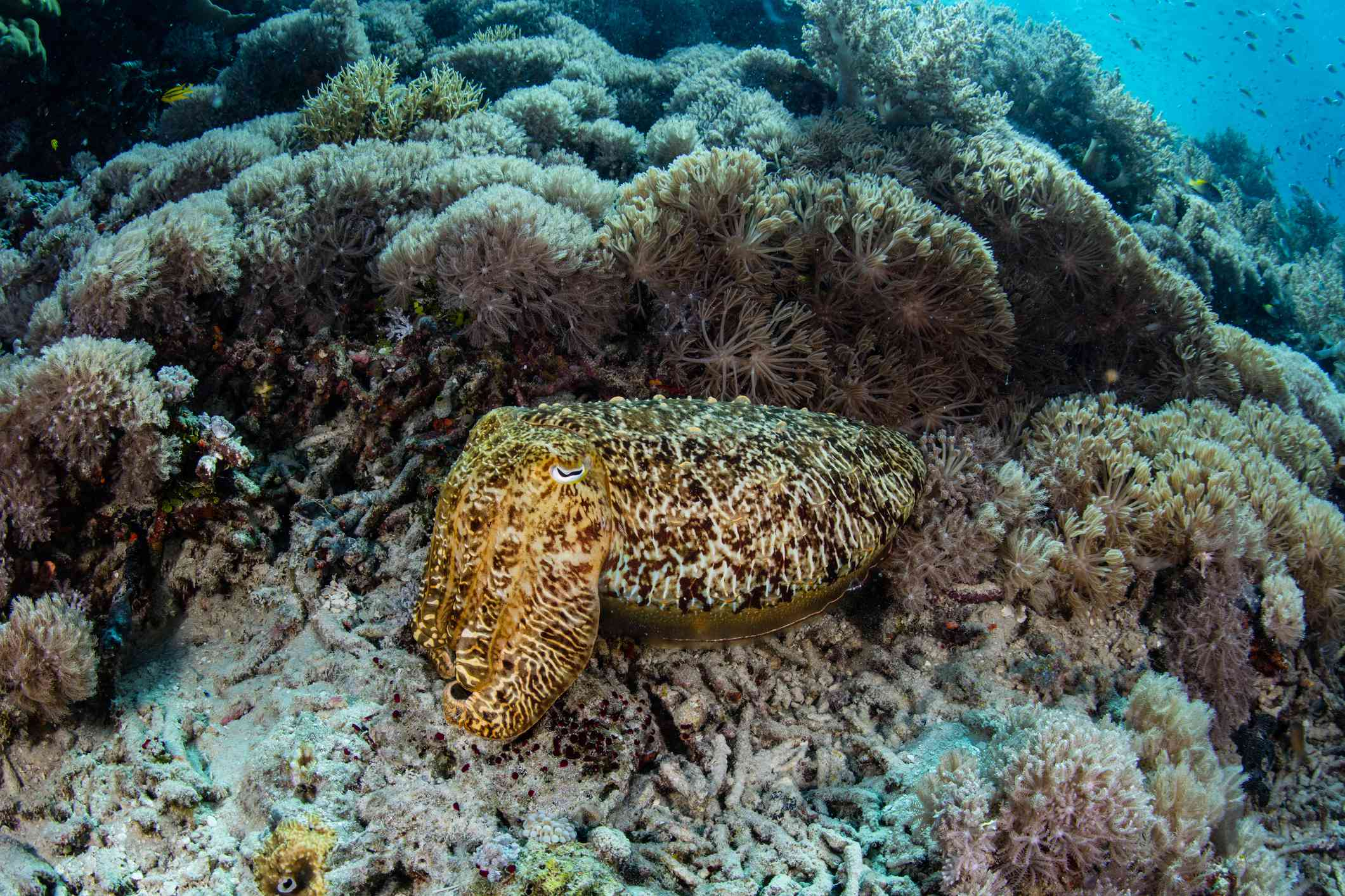 brown tan and yellow patterned cuttlefish rests on ocean floor near coral