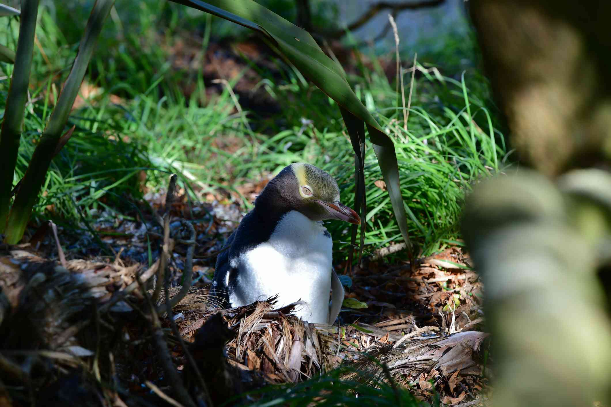 A penguin with yellow head feathers sits on a nest in a forest