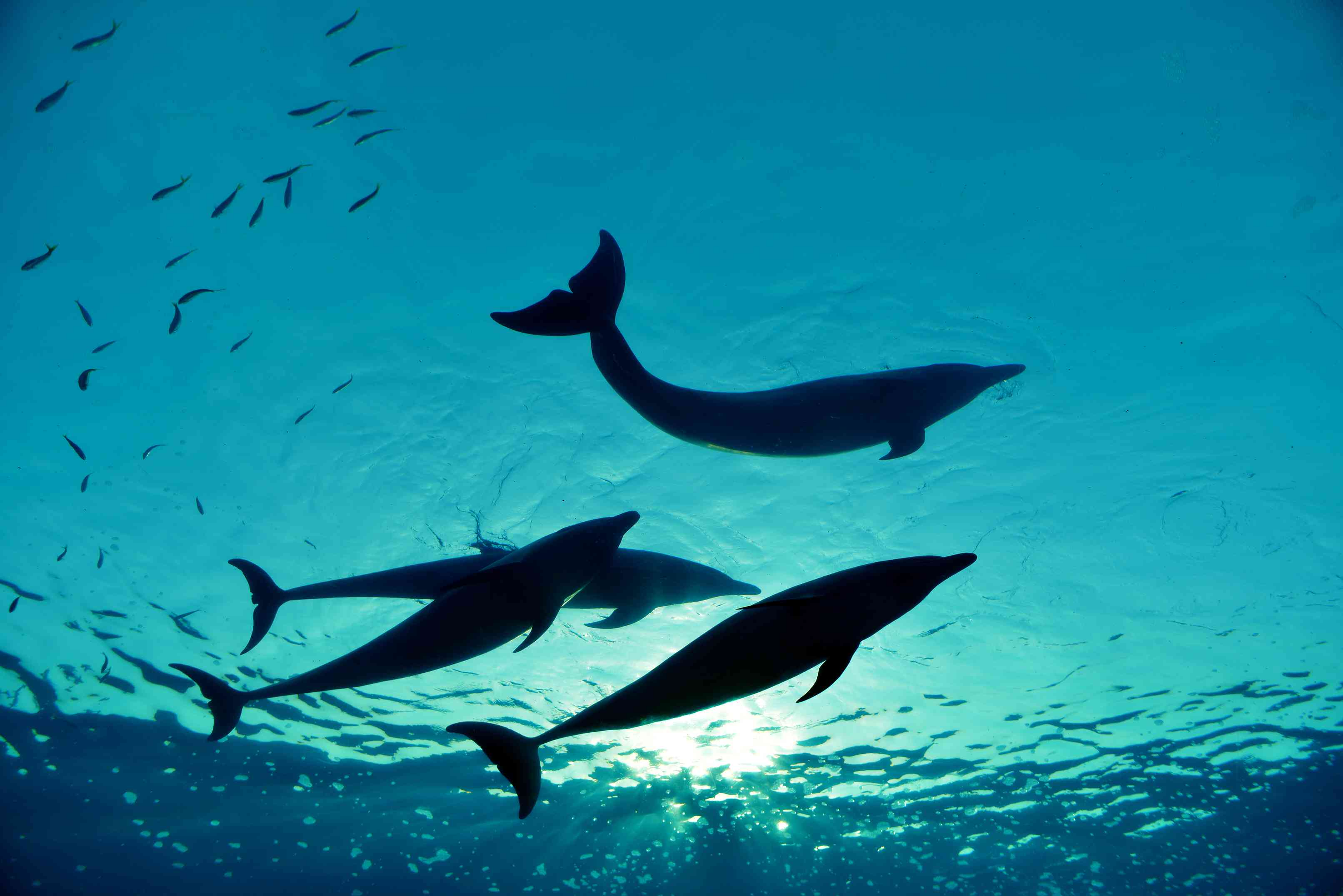 four dolphins swimming in ocean, view from below