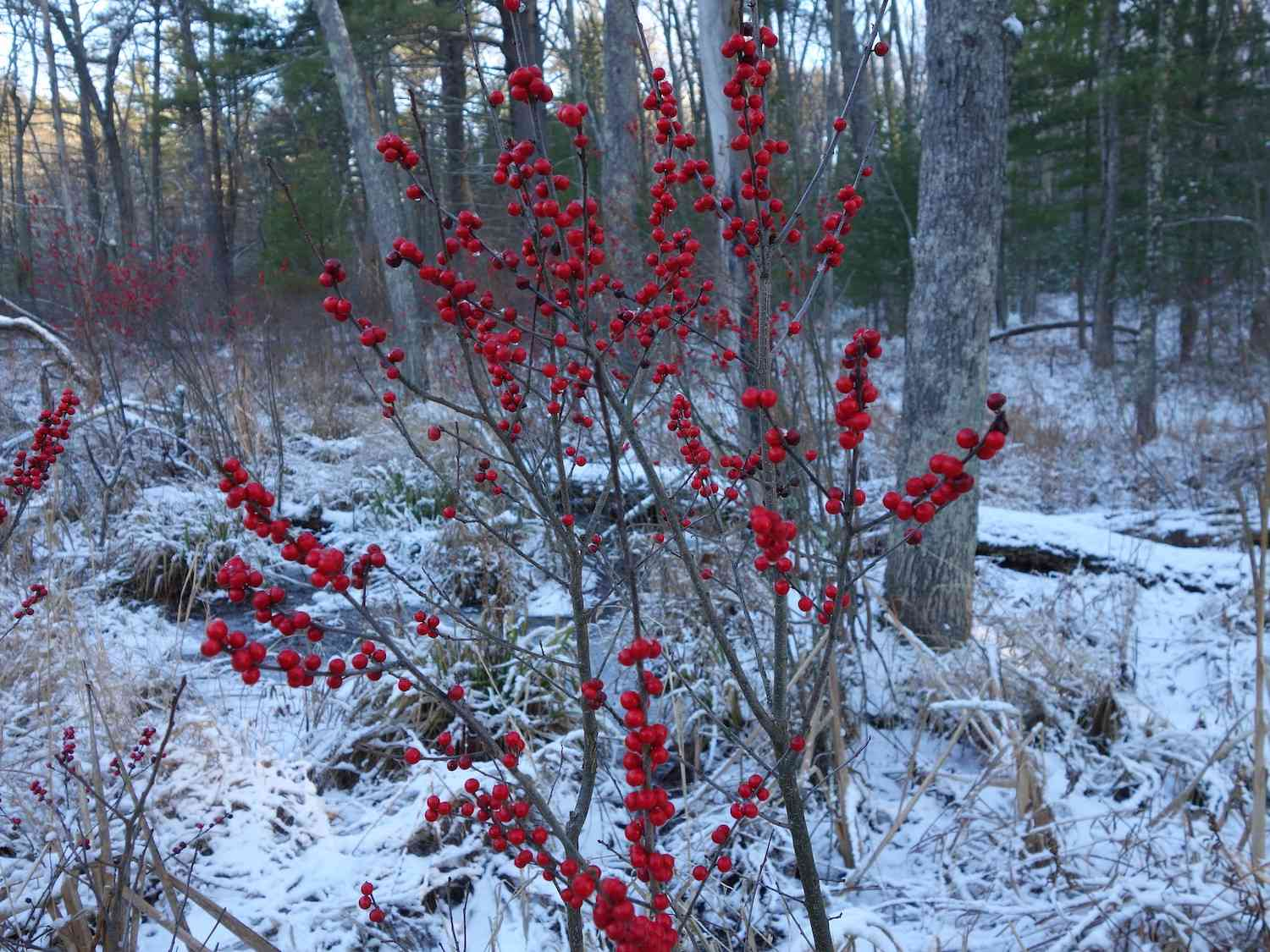 Bright red stalks of winterberry fruit against a snowy winter woodland