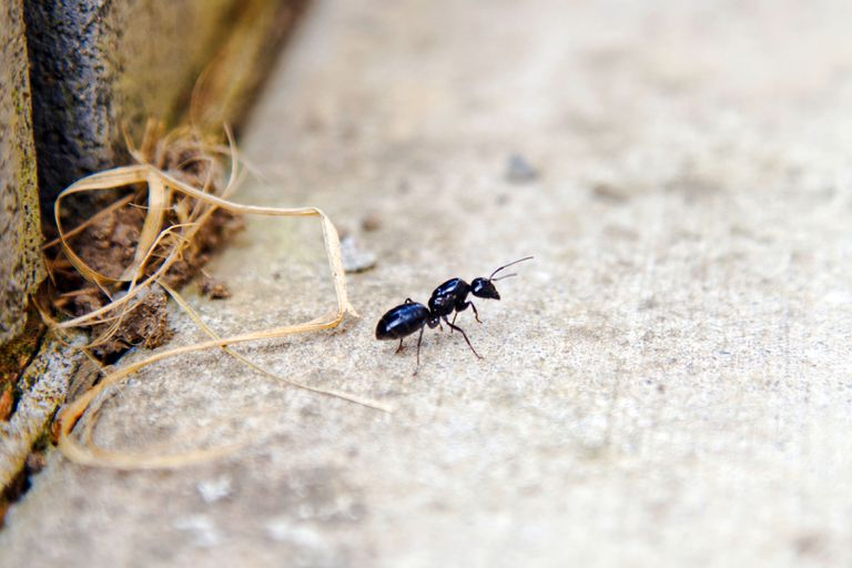 macro shot of black ant on concrete near wooden wall with straw