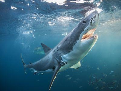 Great white shark near ocean's surface