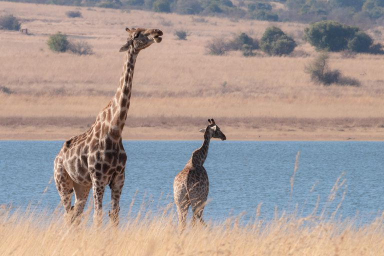 Giraffes standing by a body of water in a dry landscape.