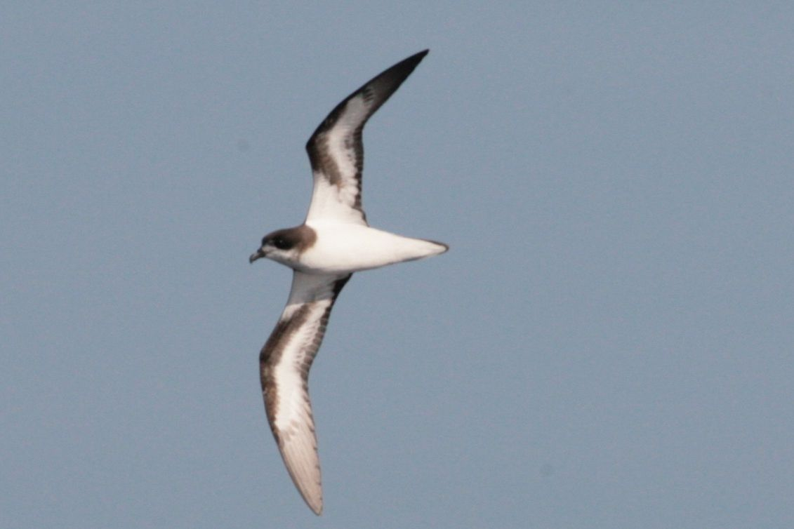 bermuda petrel in flight