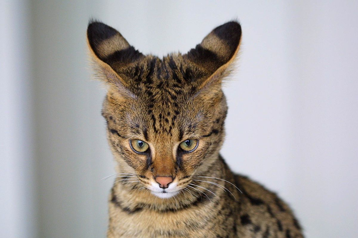 The face of a Savannah cat, with tall striped ears and a small face.