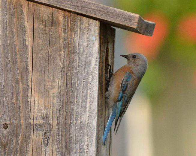 A western bluebird inspects a nestbox