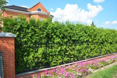 Thuja trees bordering a yard adding privacy.