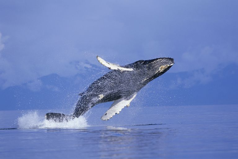 A humpback whale breaching in Frederick Sound