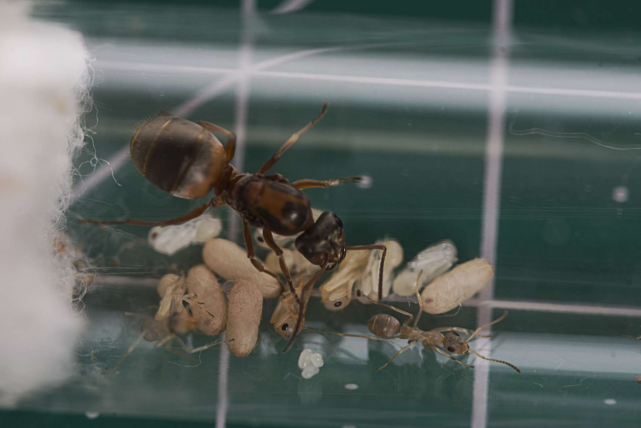 A red barbed ant in a test tube on a counter
