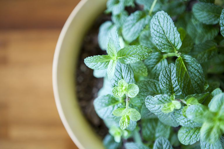 Fresh Mint Plant Potted against a Natural Wood Table