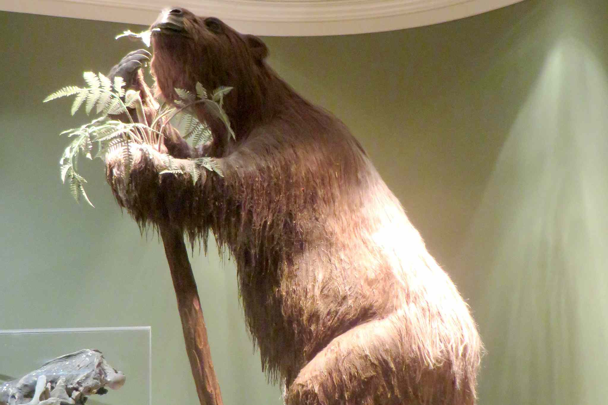 model of a giant ground sloth at the Fernbank Museum. Extremely large shaggy brown bear like animal towers over palm tree and almost touches the ceiling of the museum ceiling