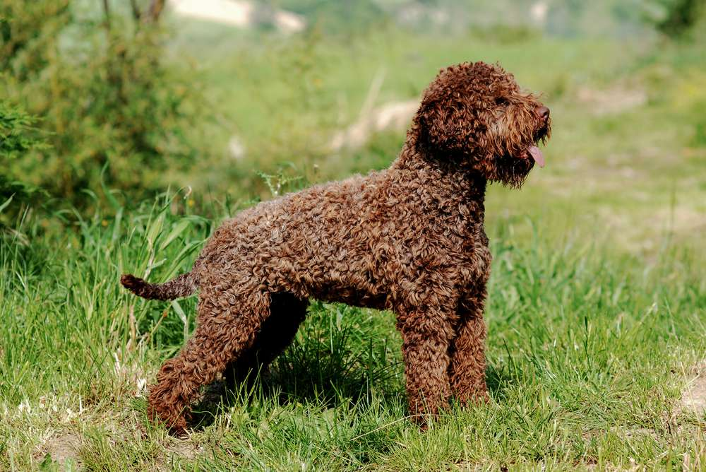 brown Lagotto Romagnolo dog standing in tall green grass