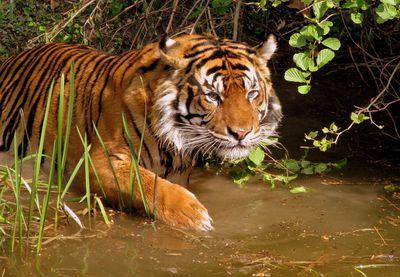 tiger wading through muddy water