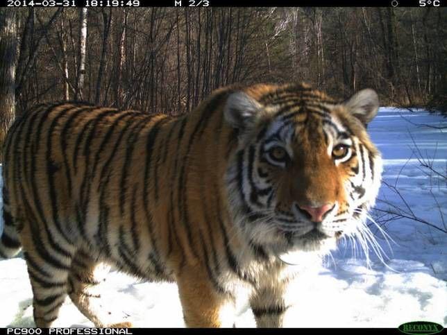 Zolushka the tiger