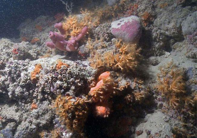 El nuevo arrecife de coral de Italia es una raza especial
