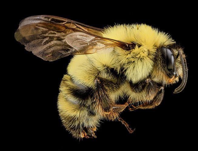 Bombus bimaculatus, or a bumble bee