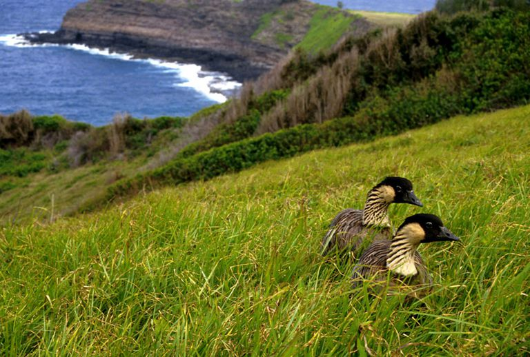 Two geese walking in tall grass