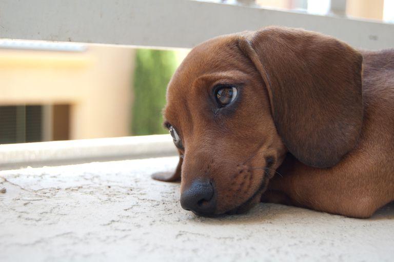 Los perros saben que somos tontos por 'Ojos de cachorro'