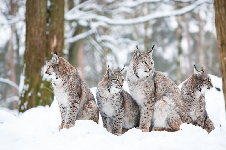 several lynx sit together in a snowy wooded area