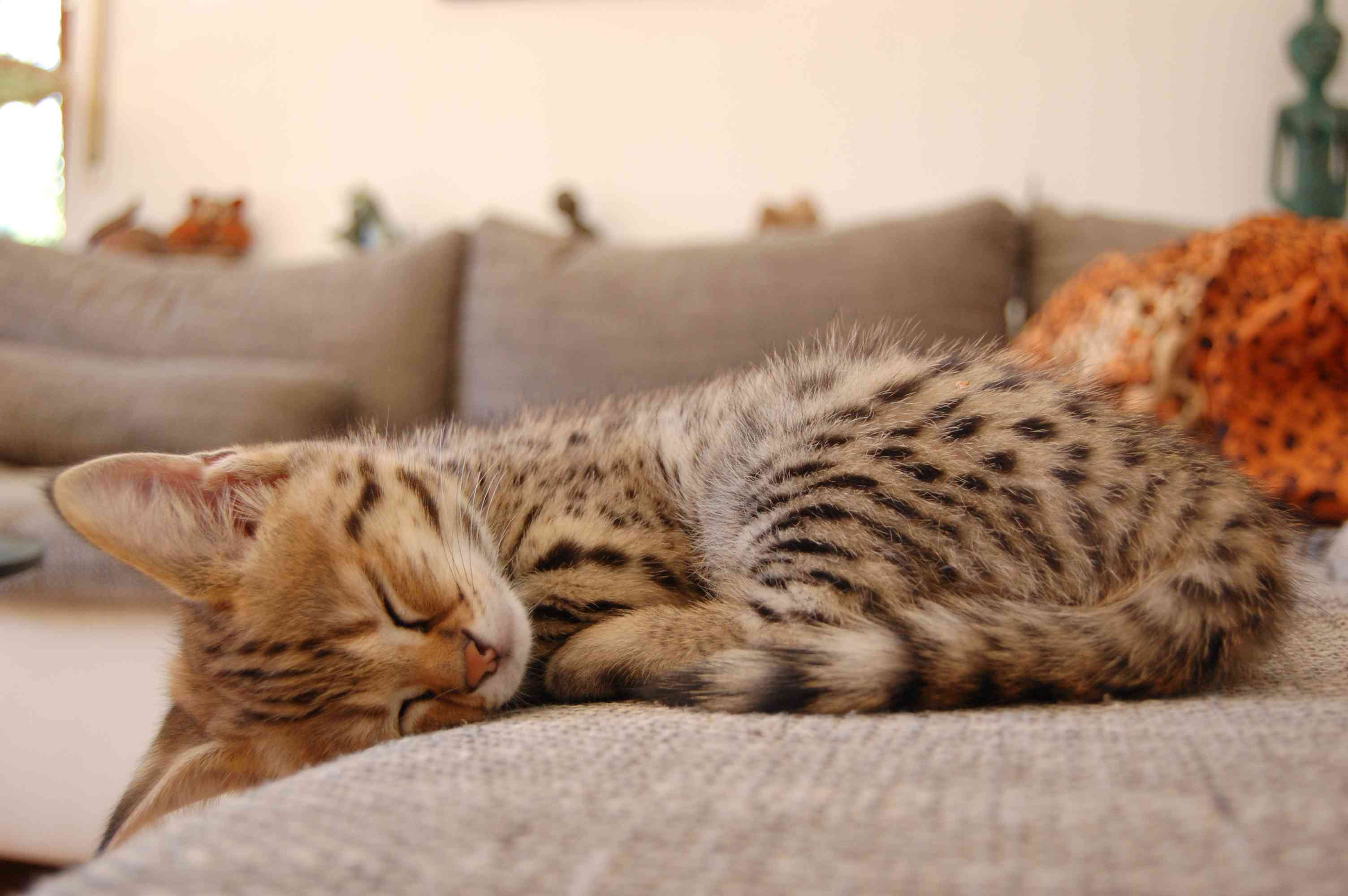 Savannah cat sleeping on sofa showing spotted coat and big ears