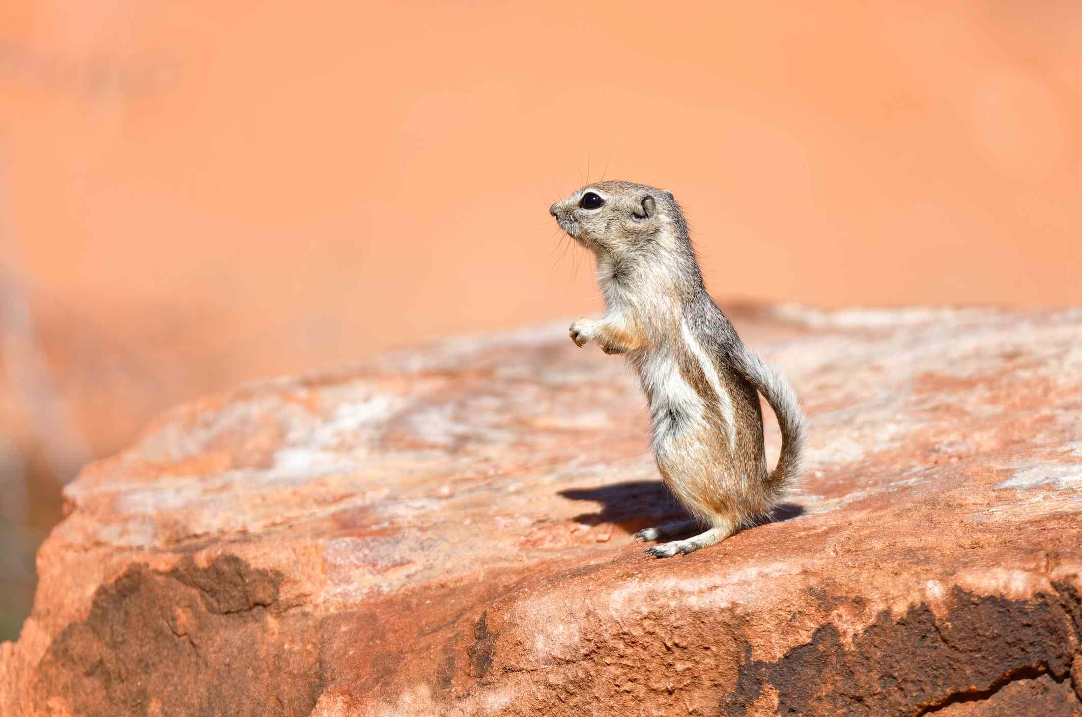White-tailed antelope ground squirrel on a rock
