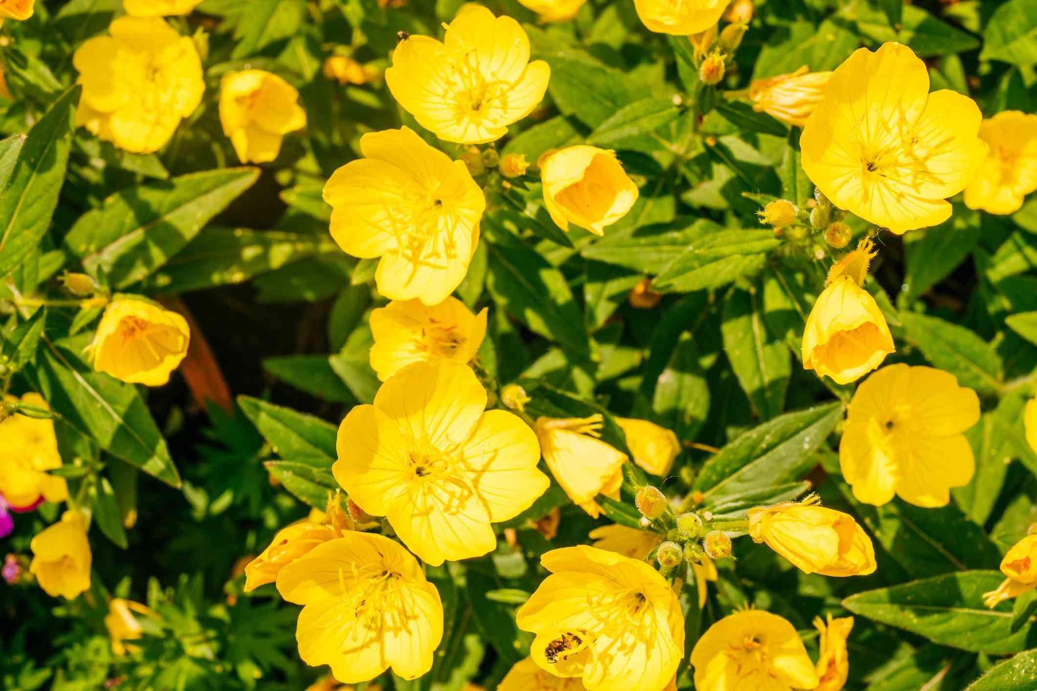 yellow common evening primrose blooming