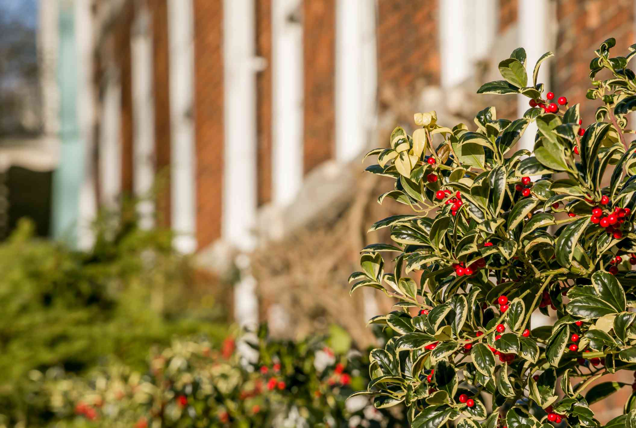 A holly bush on the side of a building