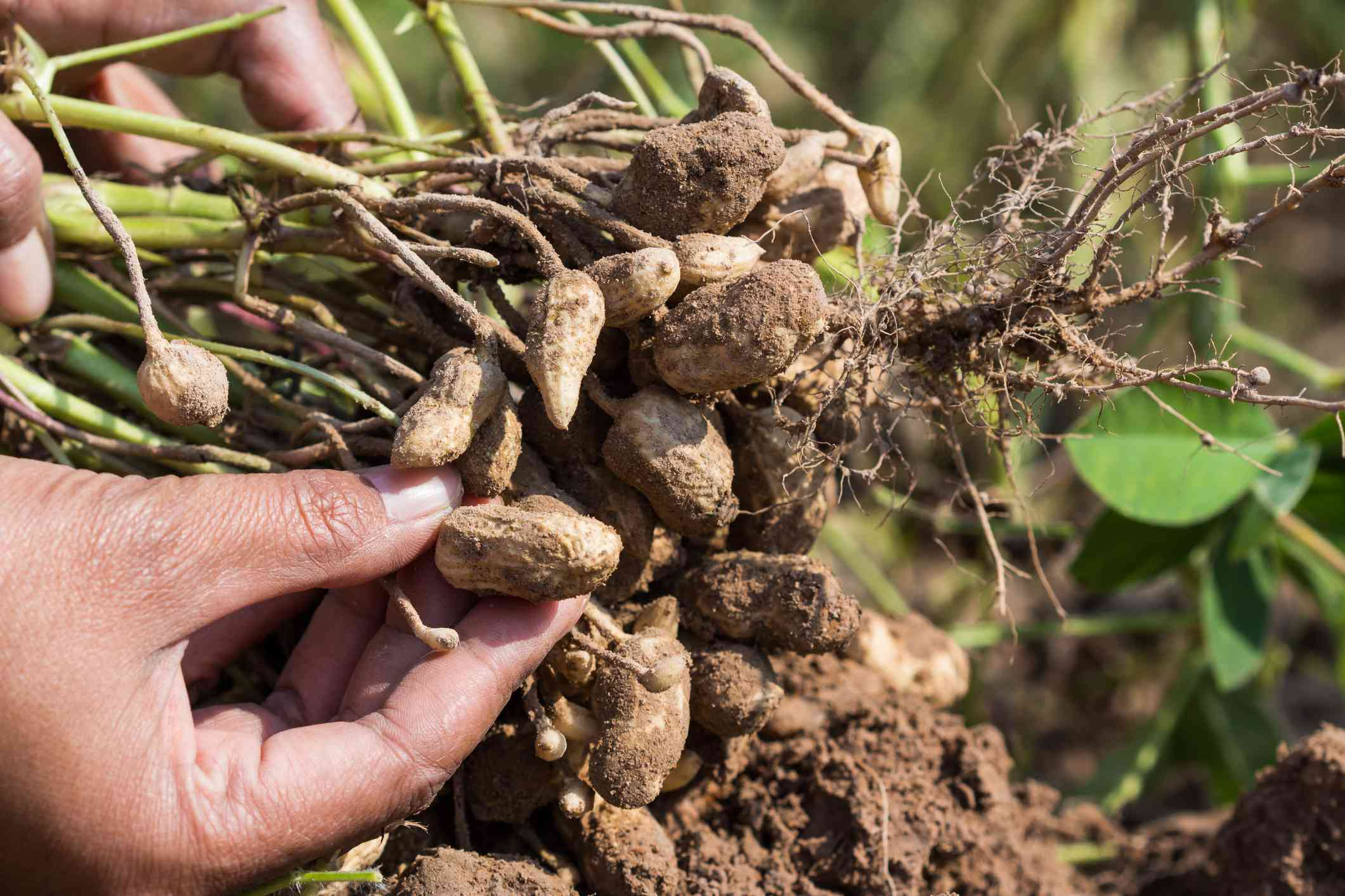 hands pull up freshly harvested peanuts covered in soil