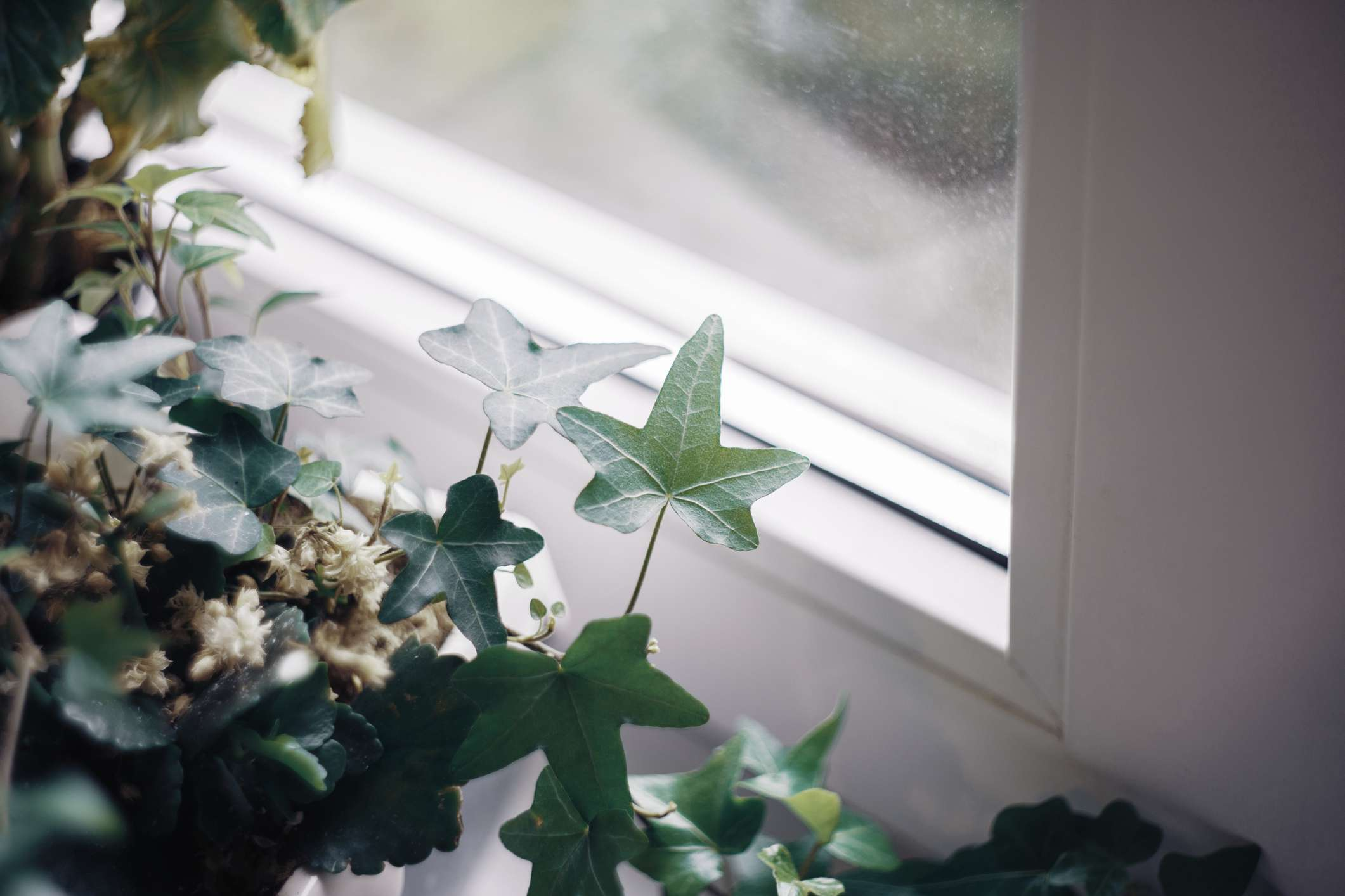 An ivy plant in front of a sunny window