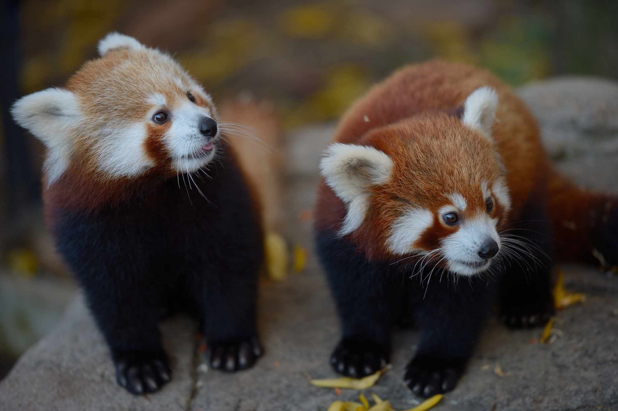 Two red panda cubs