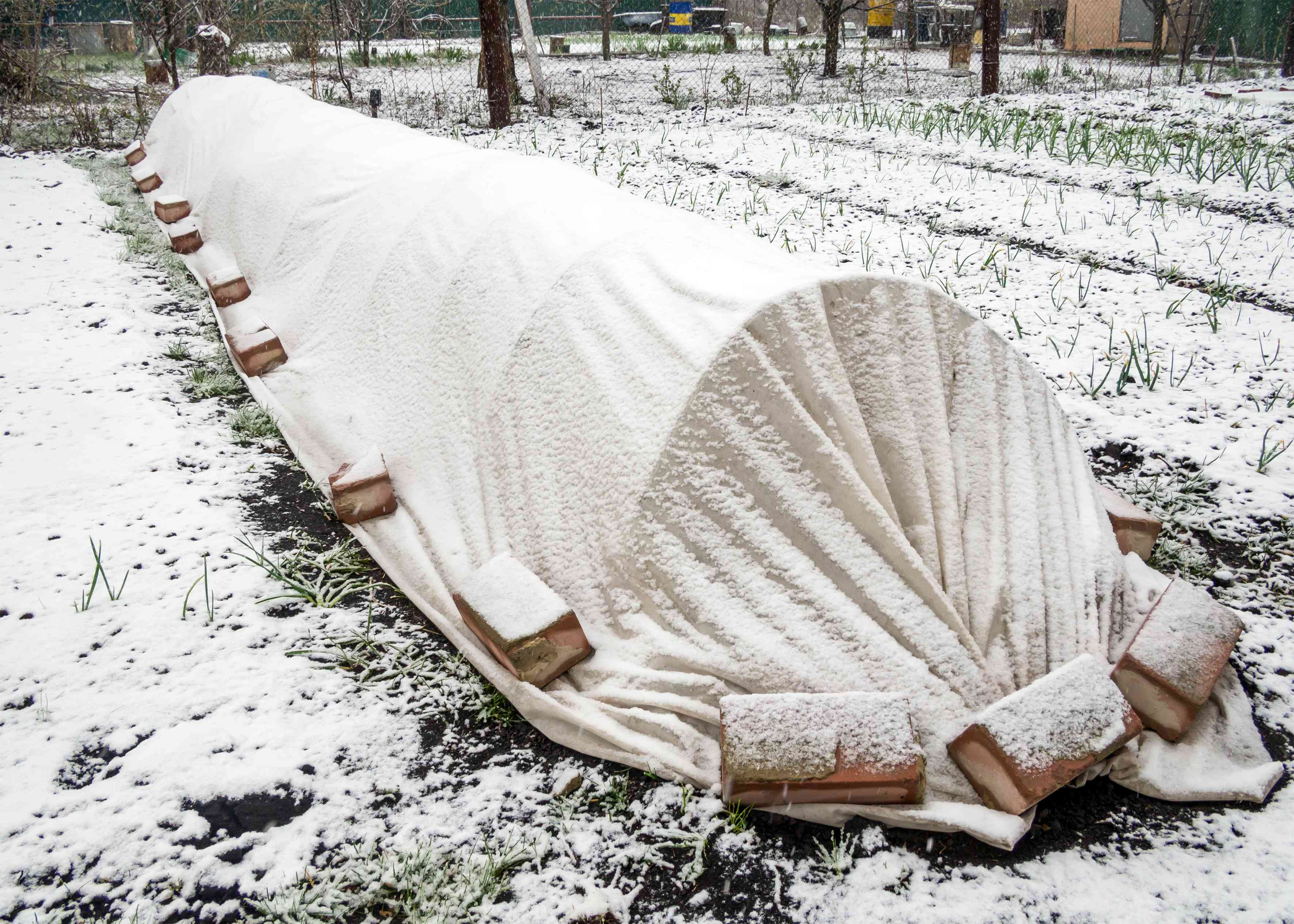 Low tunnel garden in the winter covered in snow and a blanket to keep vegetables warm.