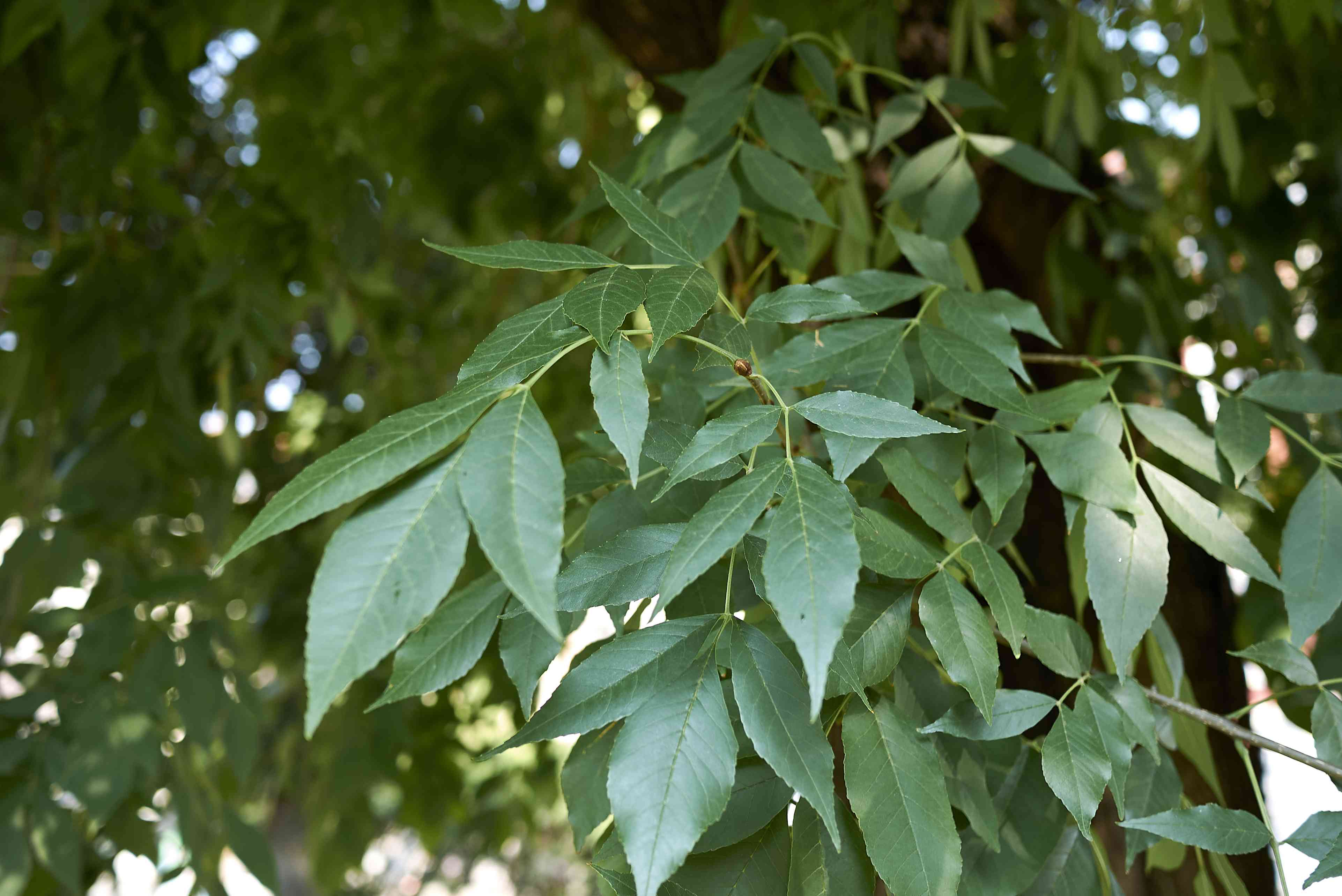 Green leaves on a Green Ash tree.