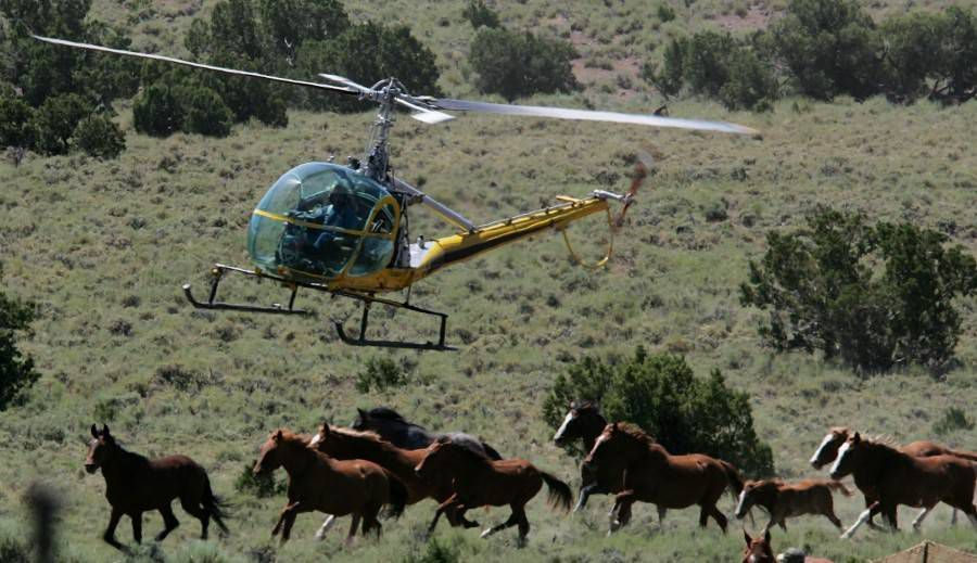 mustangs rounded up by helicopter
