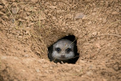 burrowing animals