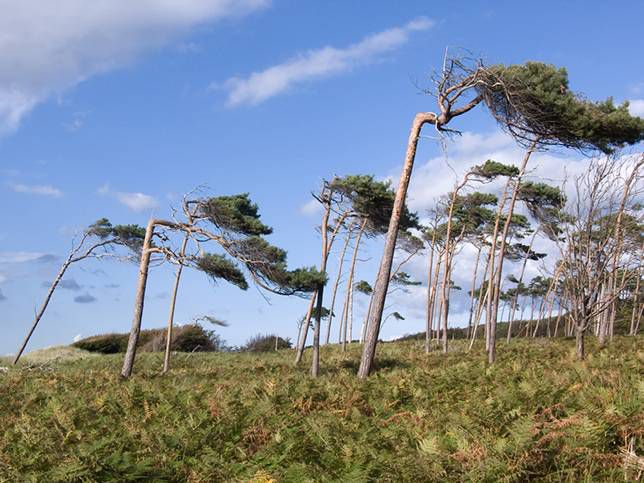 Windswept trees on a bright day in Darss, Germany