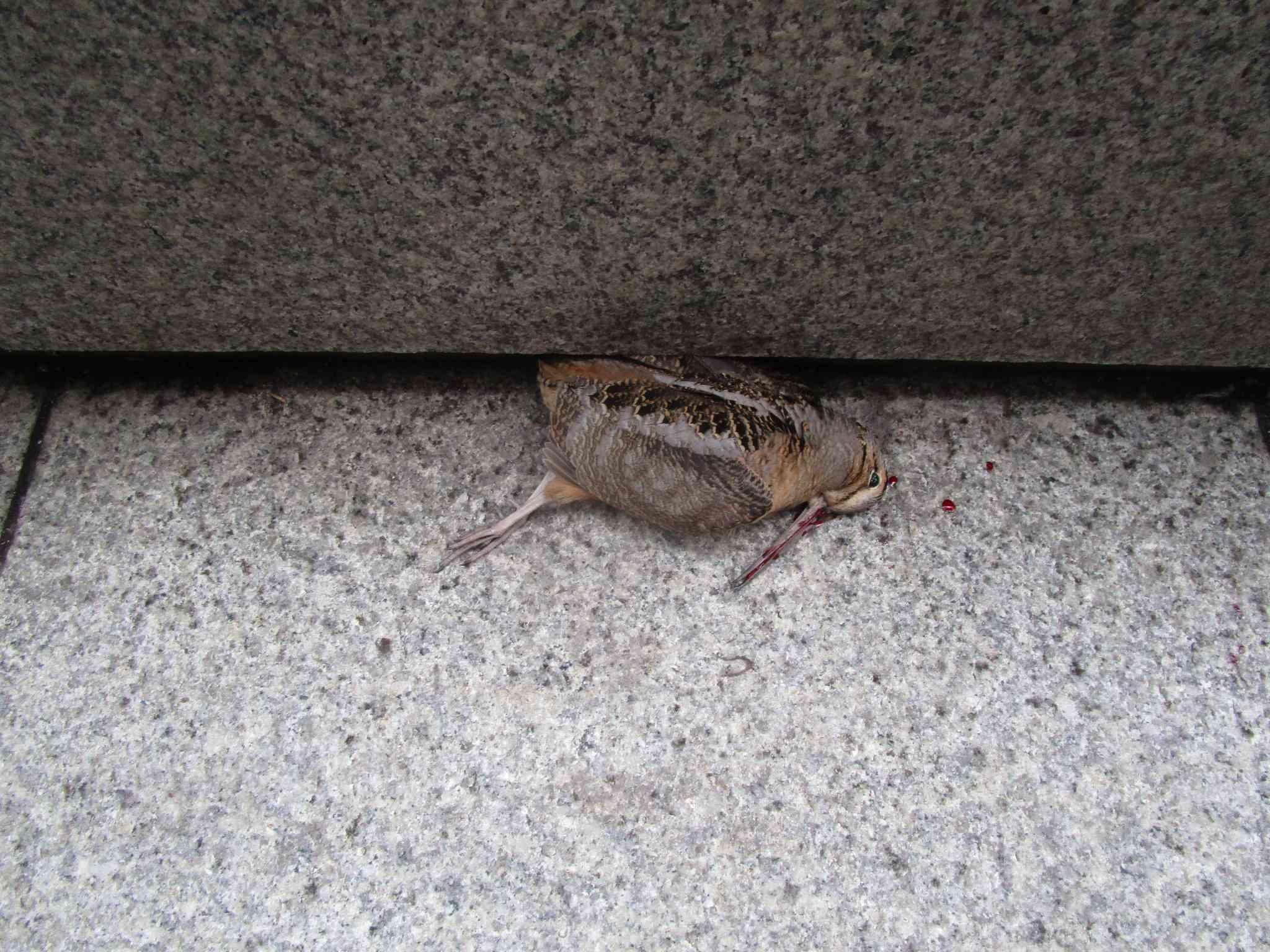 dead bird, Chicago