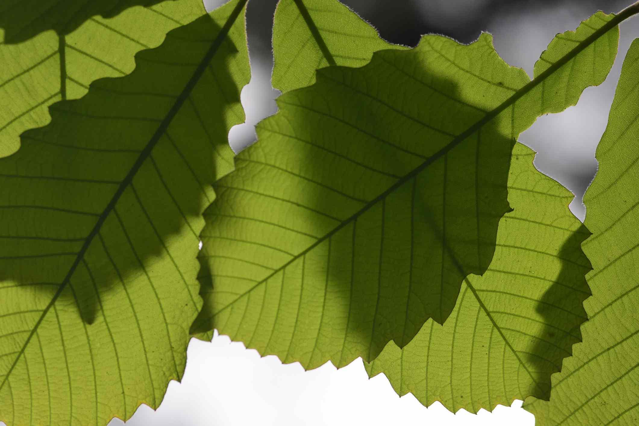 Macro of toothy oak leaves casting shadows on lower leaves