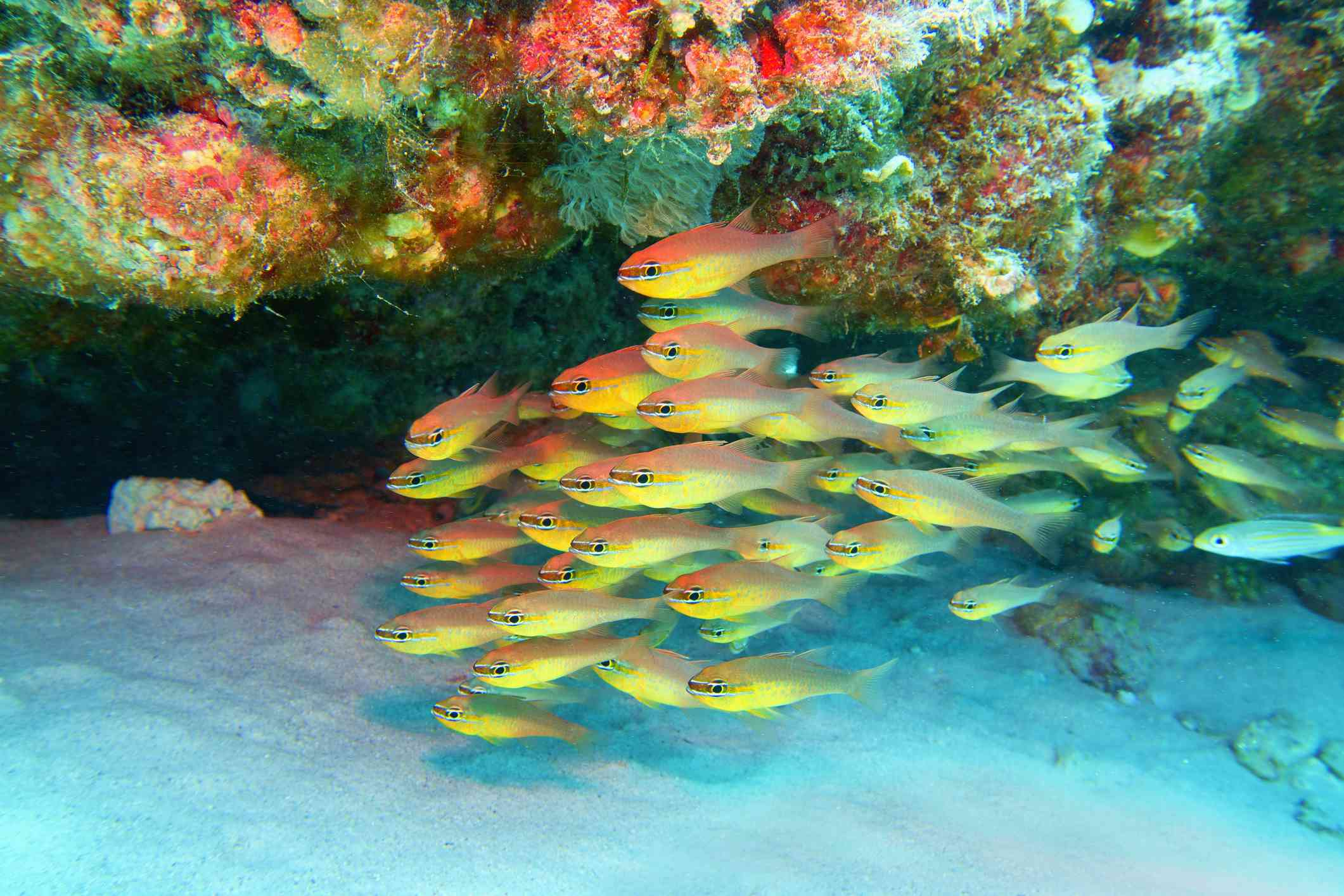 tropical coral reef on the white sandy ocean floor with a school of bright yellow Goldbelly Cardinalfish in Seychelles