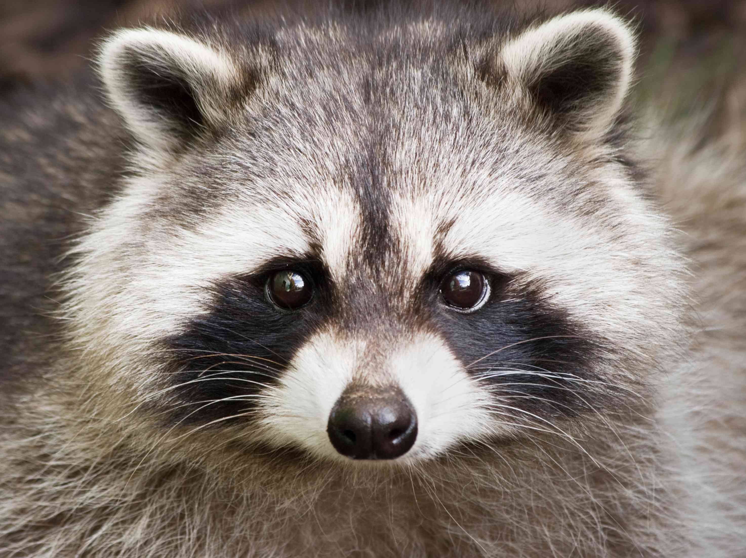 Close up of a cute raccoon face