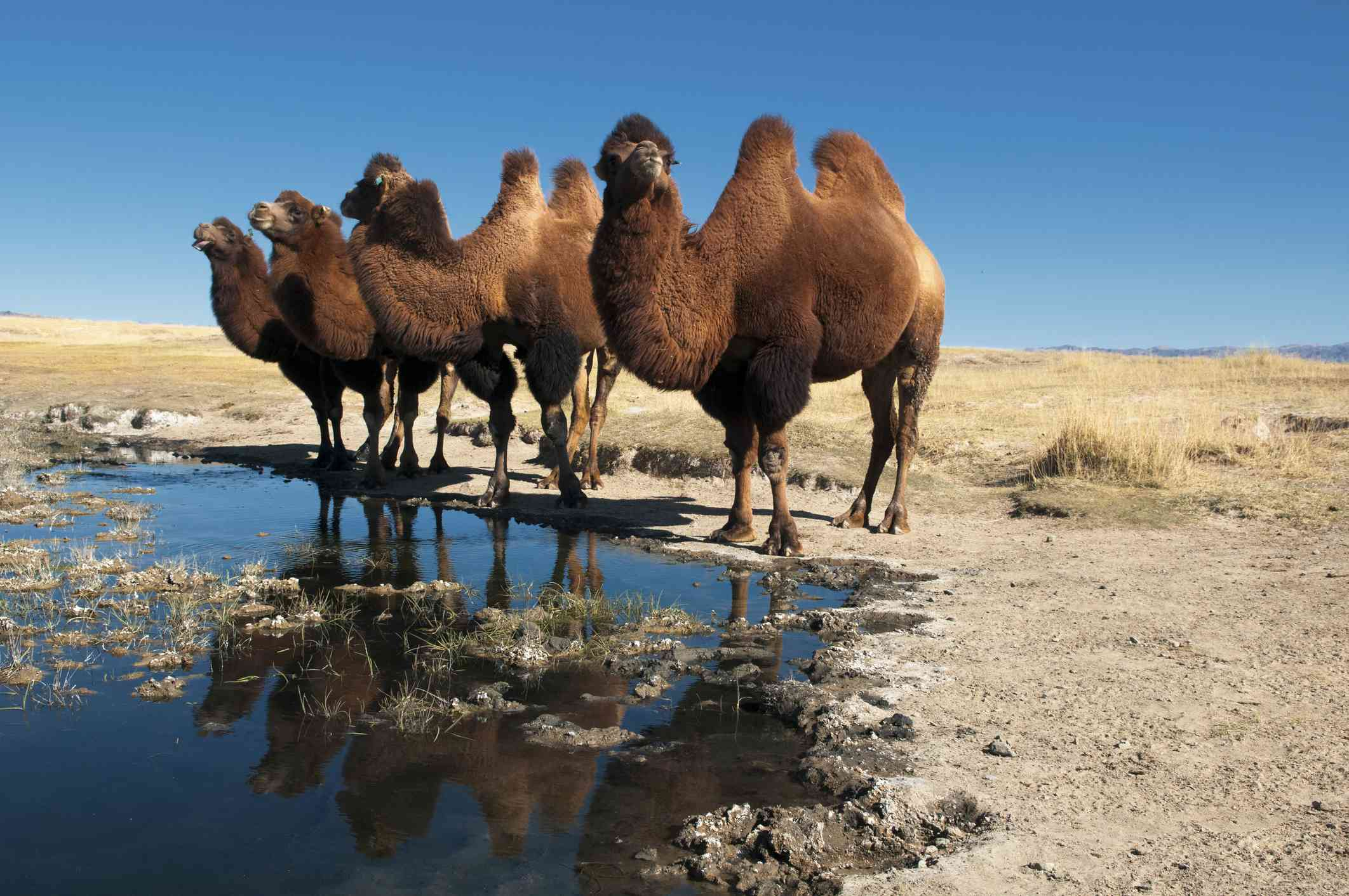 Group of Bactrian camels standing near a small pool of water in the desert