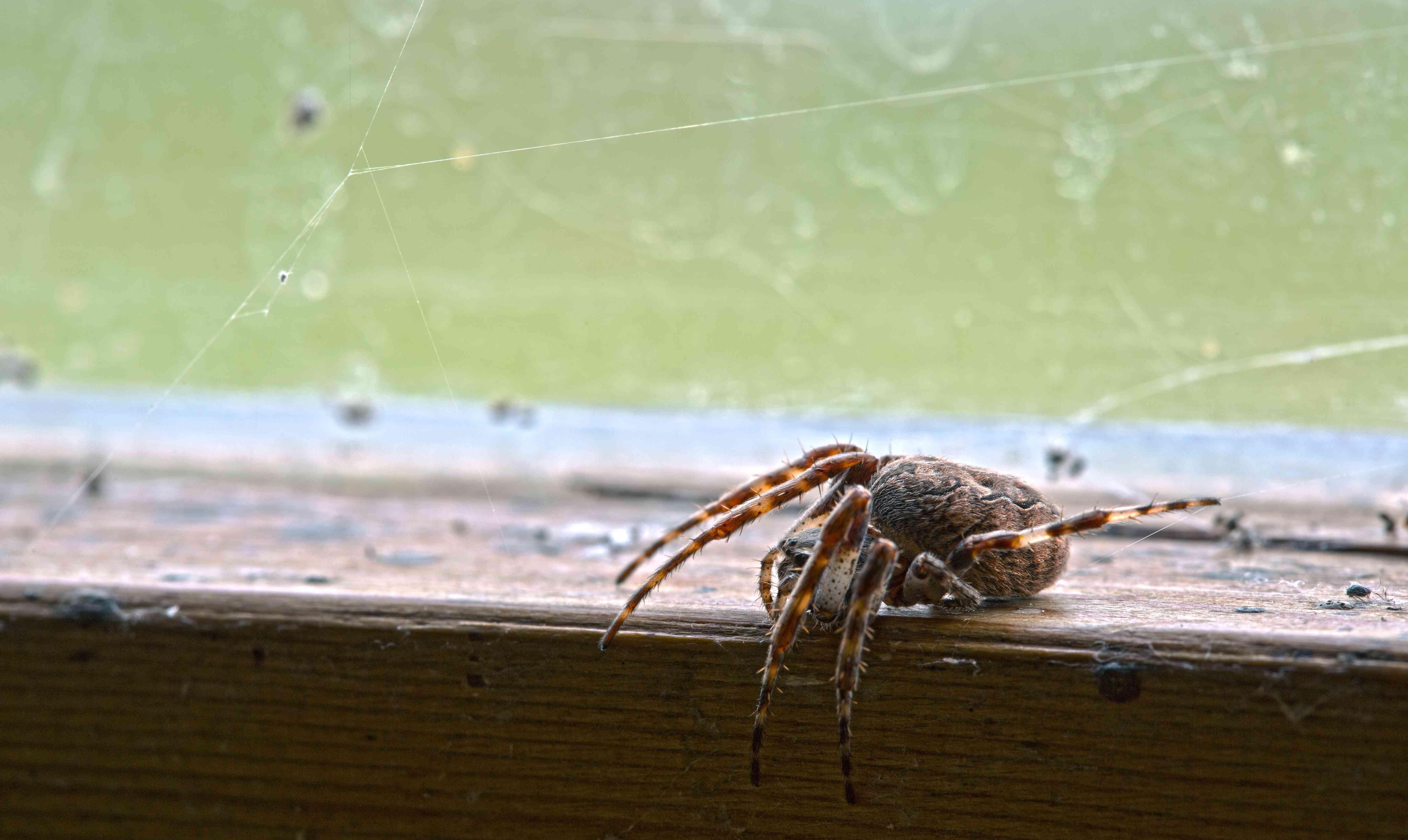 gray cross spider, Larinioides sclopetarius
