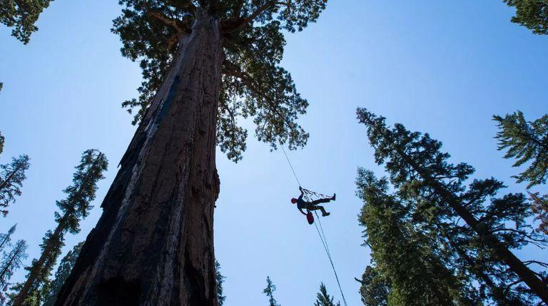 Sube a una secuoya gigante de 300 pies de altura con estos ecologistas (videos)