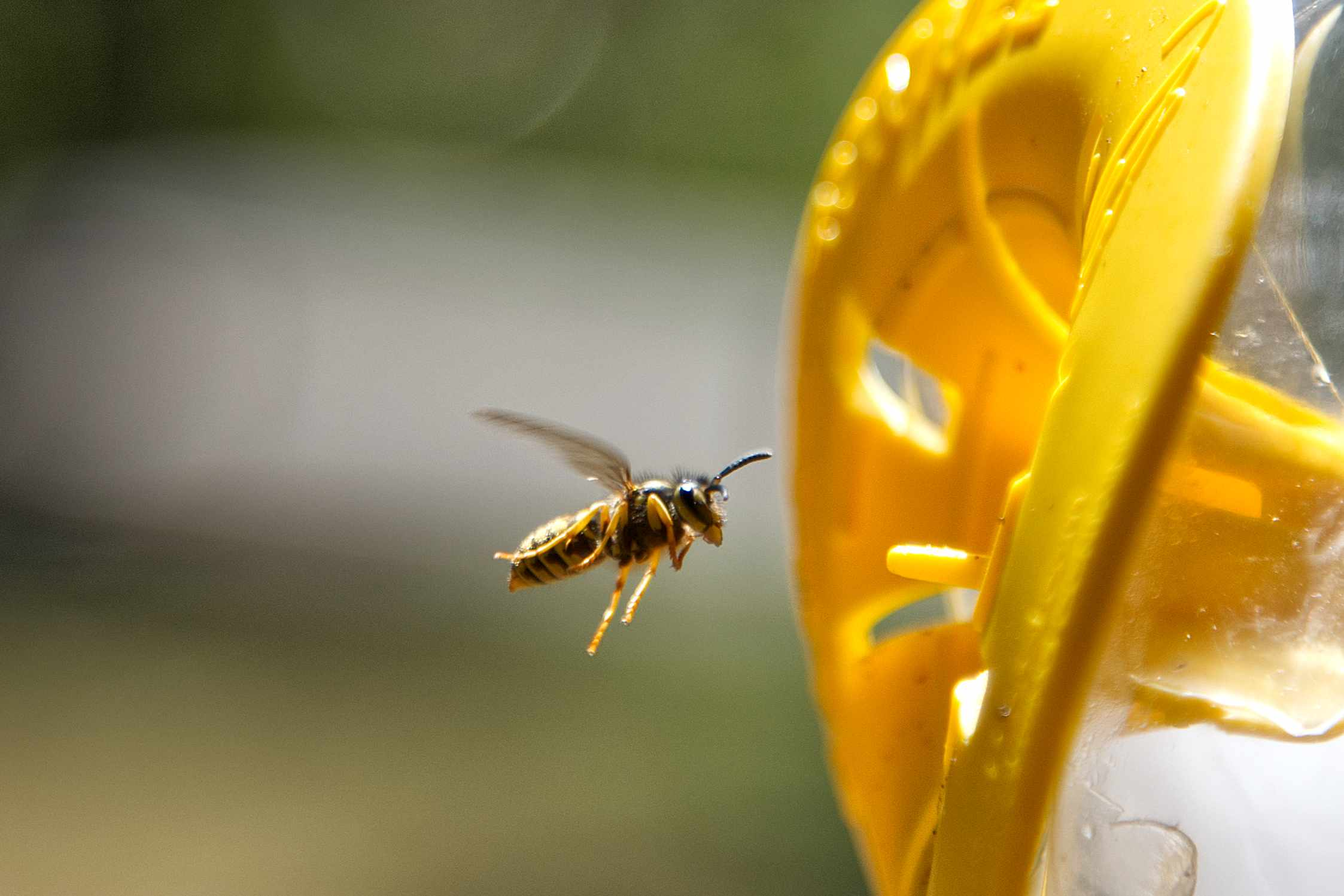 yellow jacket wasp hovers next to bright yellow plastic bird feeder