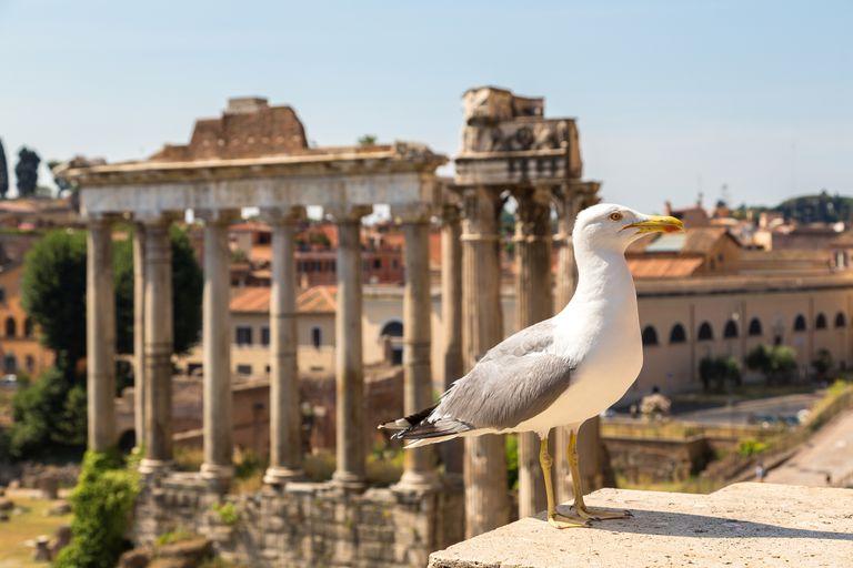 ¿Por qué Roma fue invadida por gaviotas?