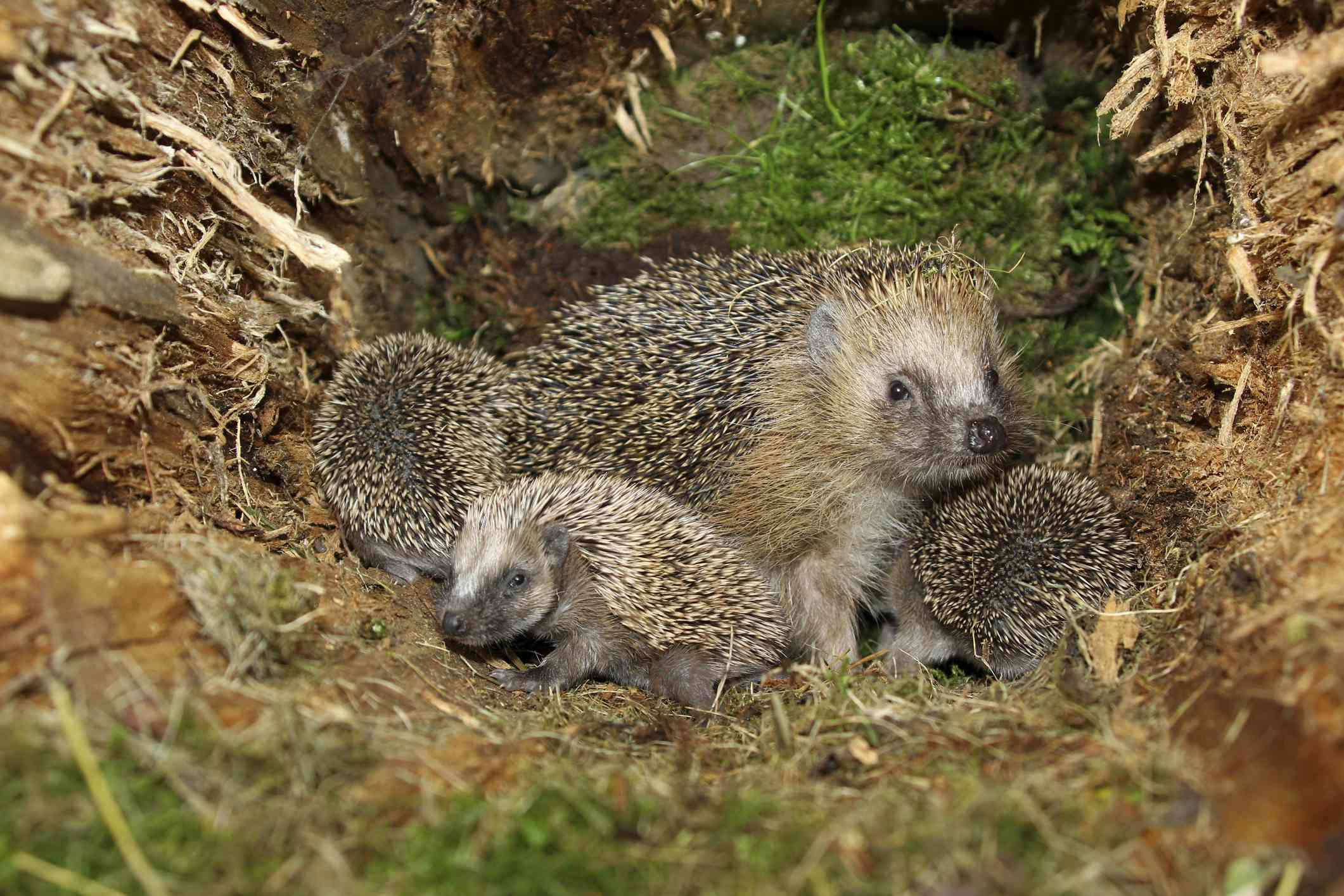 An array of hedgehogs, mother and babies, at their nest in a tree stump
