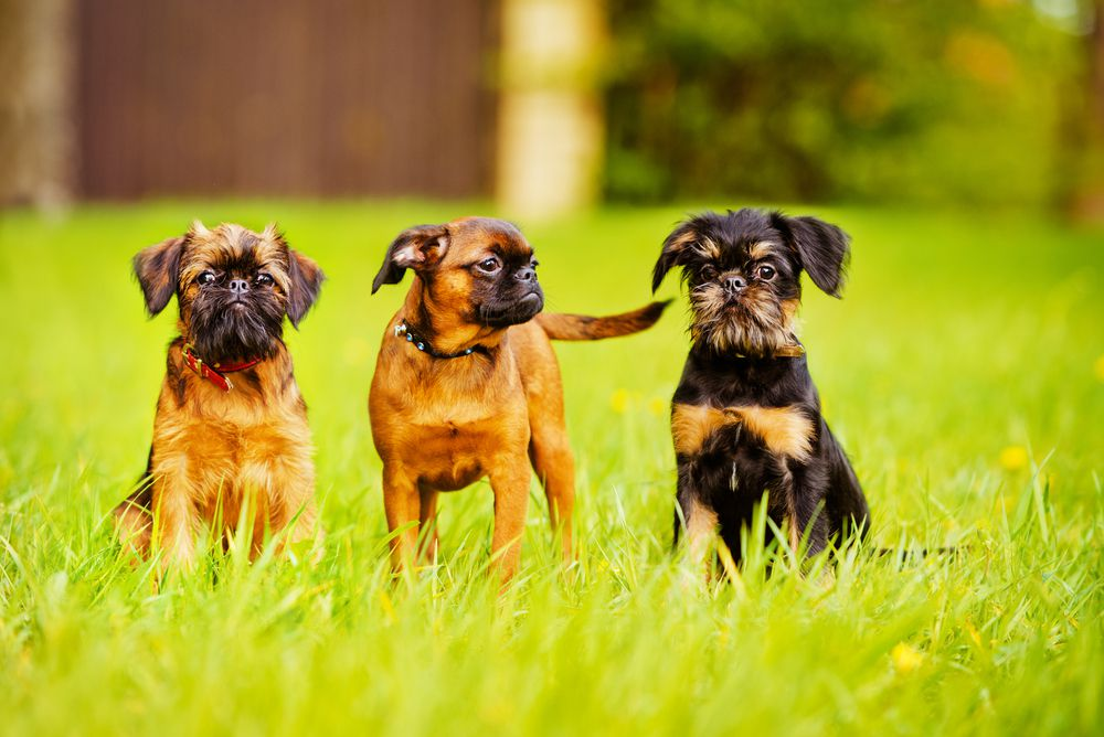 Three brown and black Brussels griffon dogs sitting on grass