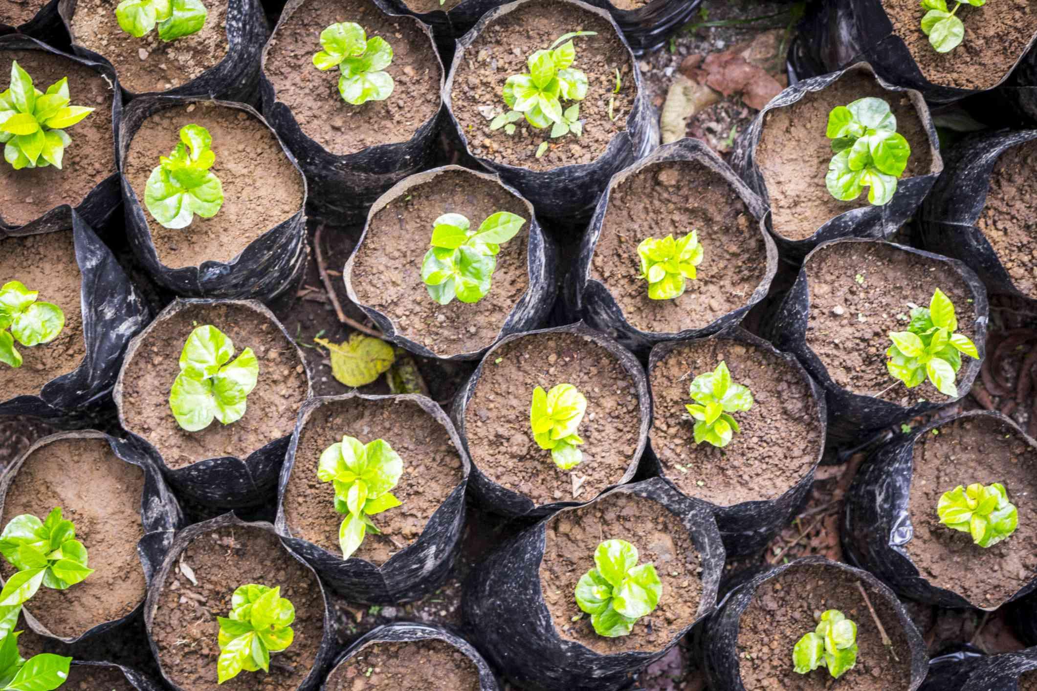 Small tree seedlings in black wrap growing.
