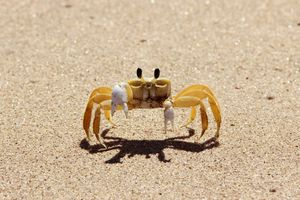 A white Atlantic ghost crab on sand.